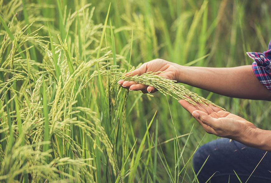آشنایی با انواع معروف برنج شمالی